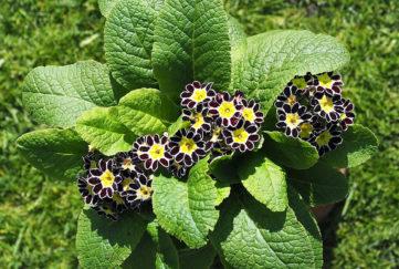 Harry Hotspur plant