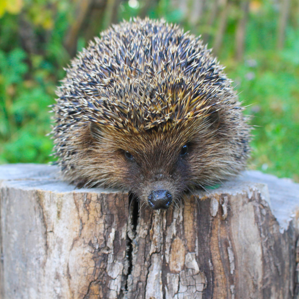 Front view of a hedgehog on a tree stump
