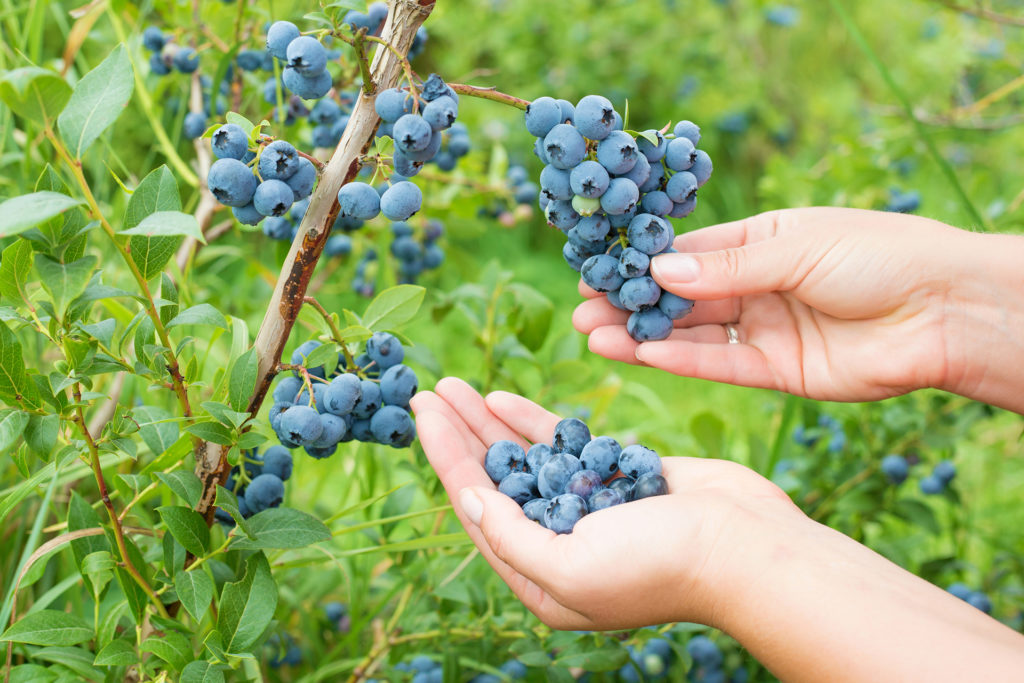 close-up photo of woman's hands collecting blueberries