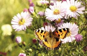 Small Tortoiseshell butterfly on pale purple Michaelmas daisies