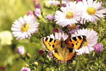 Small Tortoiseshell butterfly on pale purple Michaelmas daisies