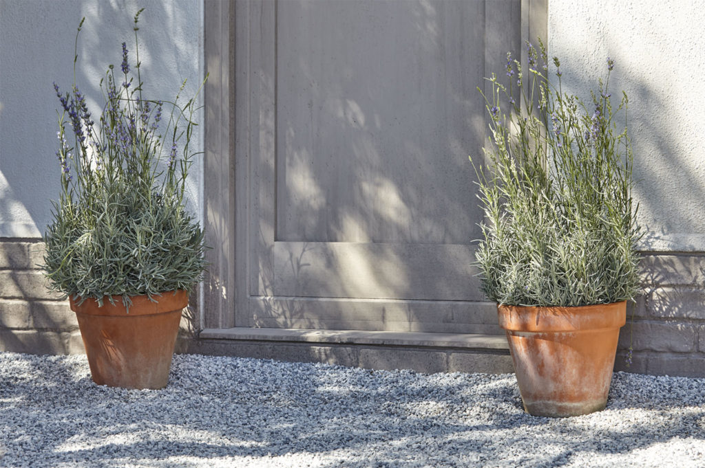 Lavender plants in pots, on gravel, either side of a grey painted door