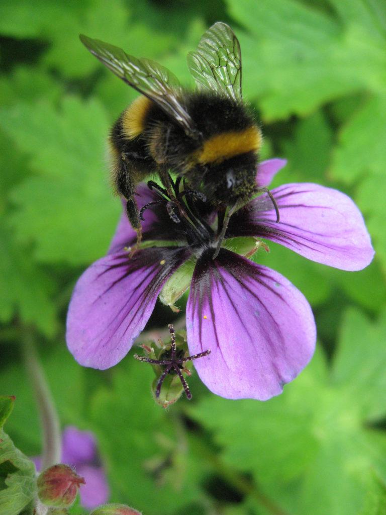 Geranium procurrens with bumblebee