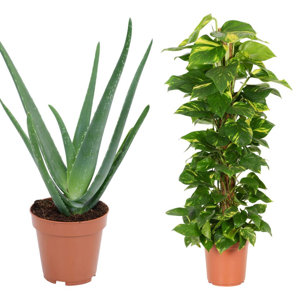 House plants in pots, aloe vera (long spiky leaves) and Devil's Ivy, large green leaves with touches of yellow, trained around a tall post