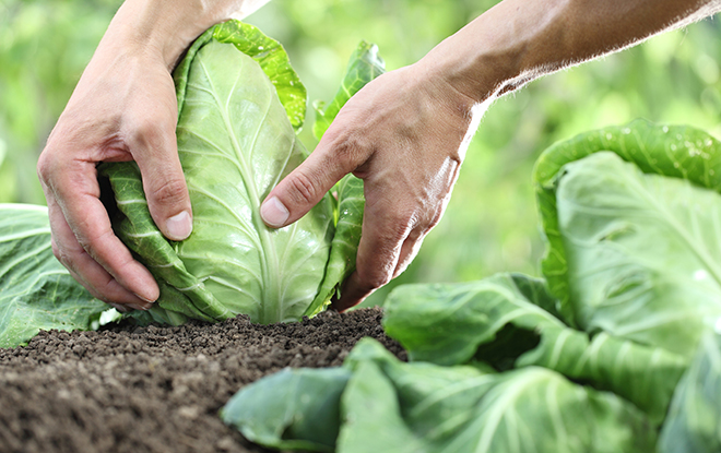 Hands picking a cabbage in vegetable garden Pic: Istockphoto