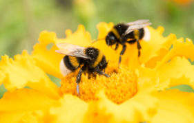 two bumblebees on a yellow flower collects pollen, selective focus, nature background