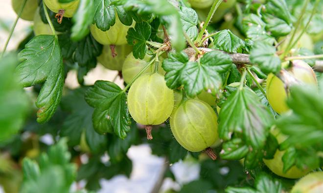 Gooseberries on the vine Pic: Istockphoto