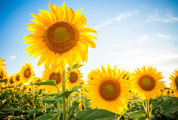 Sunflower field summer landscape