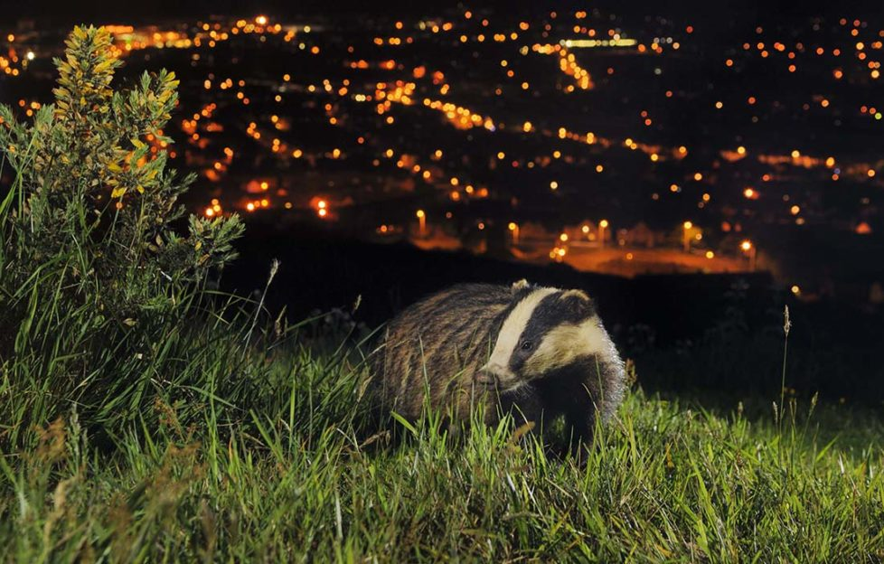 European Badger, North Downs above Folkestone, Kent Pic: Terry Whittaker, 2020Vision