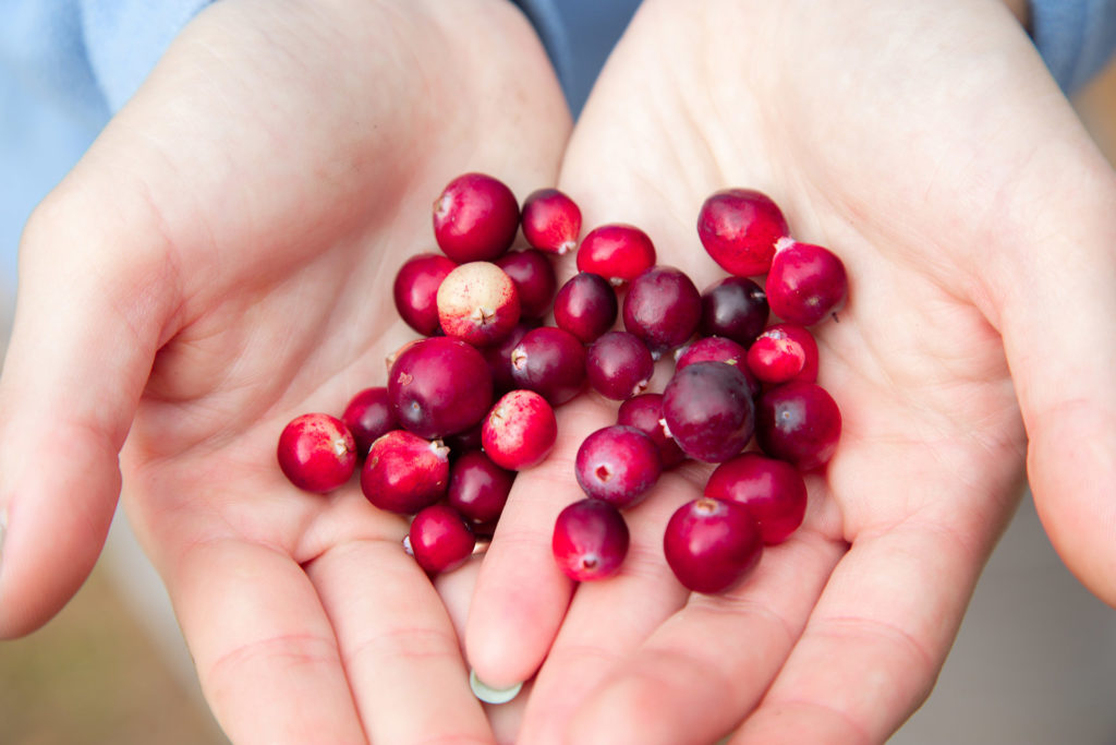 Woman's hands holding ripe red cranberries