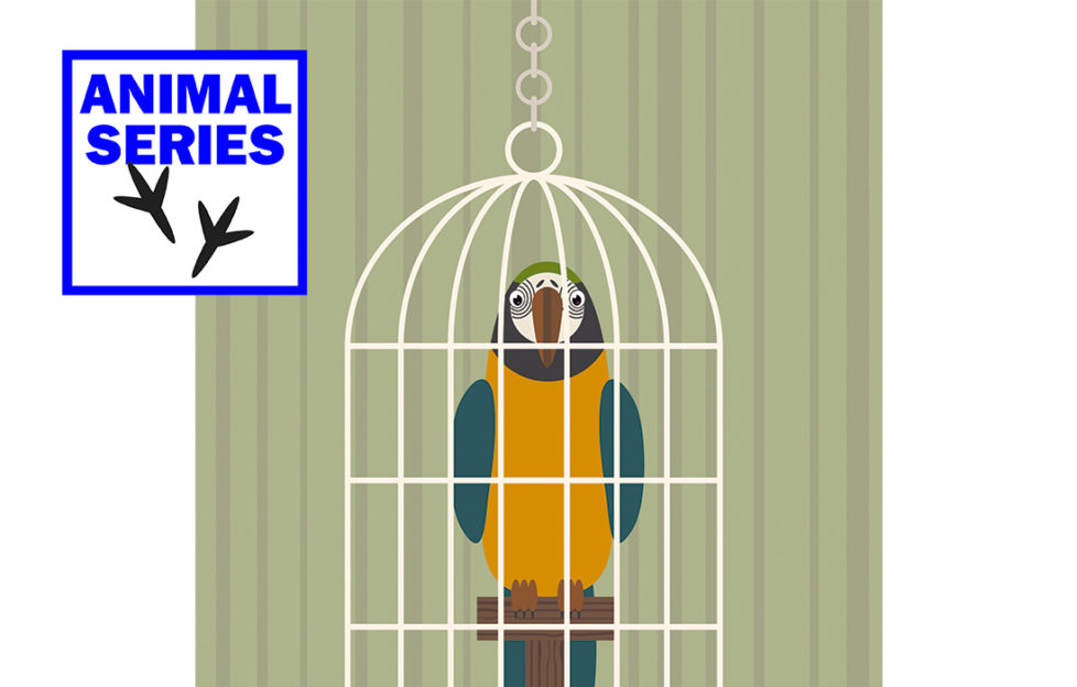 Digital cartoon of a yellow and blue parrot in a cage, looking wily Pic: Rex/Shutterstock