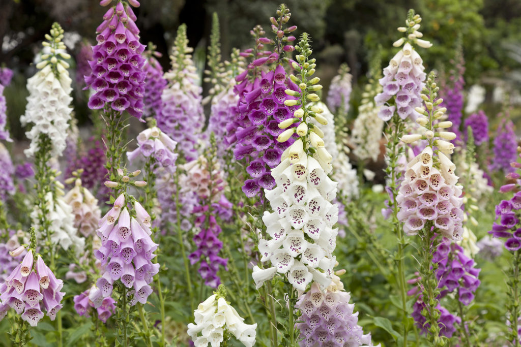 Fresh blooming purple and white foxglove in a field