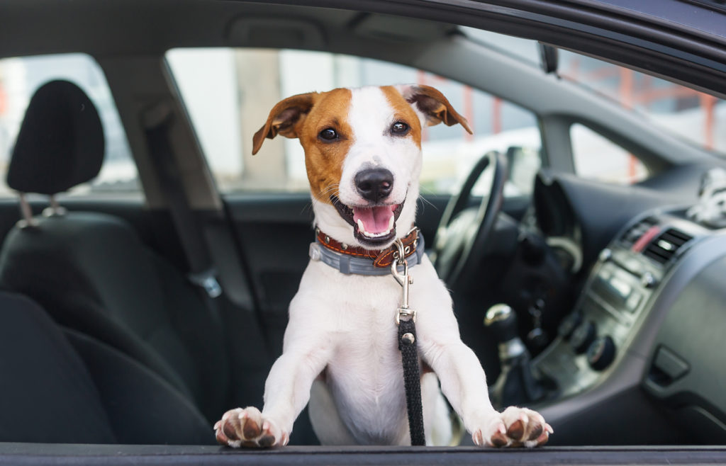 Cute dog sit in the car on the front seat. Closeup