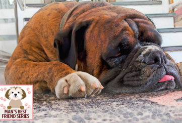 Close up of tired boxer dog lying on flagstones, tip of tongue poking out